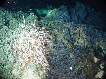 Approchée par le robot Ropos en 2006, cette source hydrothermale recèle une vie florissante, y compris à l'échelle microscopique. © NOAA Vents Program / NeMO Seafloor Observatory