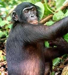 Les mâles bonobos dominés bénéficient de l'aide de leur mère pour réussir à séduire des jeunes femelles. © DR