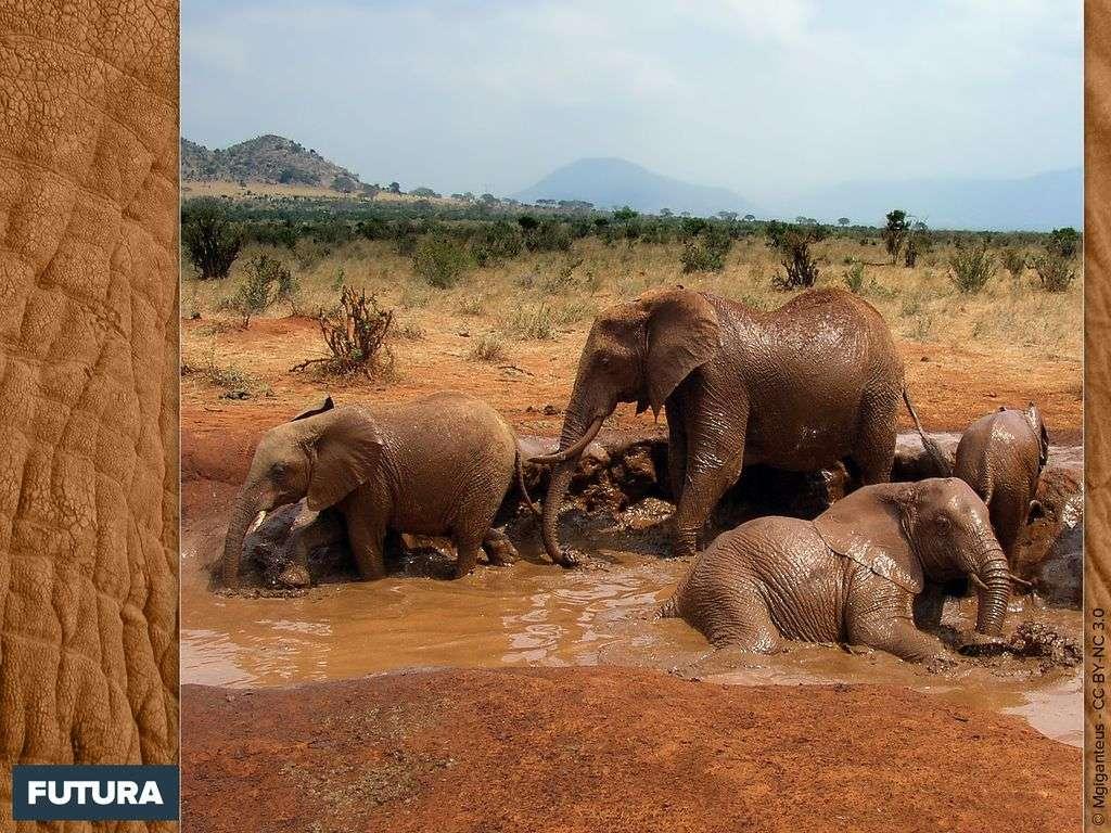 Bain de boue des éléphants de brousse