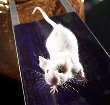 Les souris sont largement utilisées dans les laboratoires de recherche. Des chercheurs ont notamment observé un changement de leur personnalité avec une flore intestinale modifiée. © Rama, Wikimedia Commons, cc by sa 3.0
