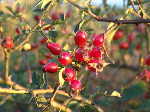 Fruits de l'églantier. © Spones, licence de documentation libre GNU, version 1.2