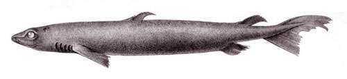 Centroscymnus coelolpis, une espèce de requin. © Bideault, domaine public