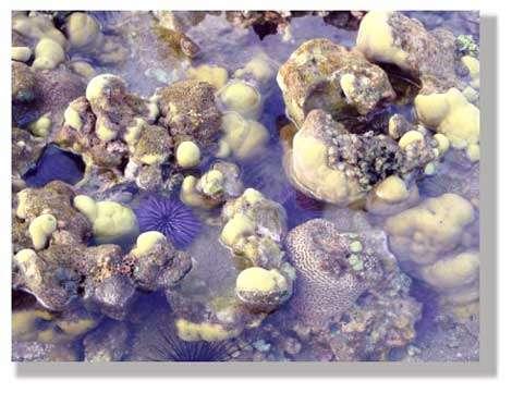 Échinide au milieu des coraux. © Philippe Mespoulhé