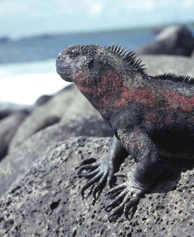 Iguane marin (Amblyrhynchus cristatus) se chauffant au soleil sur un rocher de basalte à Punta Suarez, dans l'île d'Espanola, aux Galapagos : un parc naturel protégé en région volcanique. © J.-M. Bardintzeff, tous droits réservés, reproduction interdite