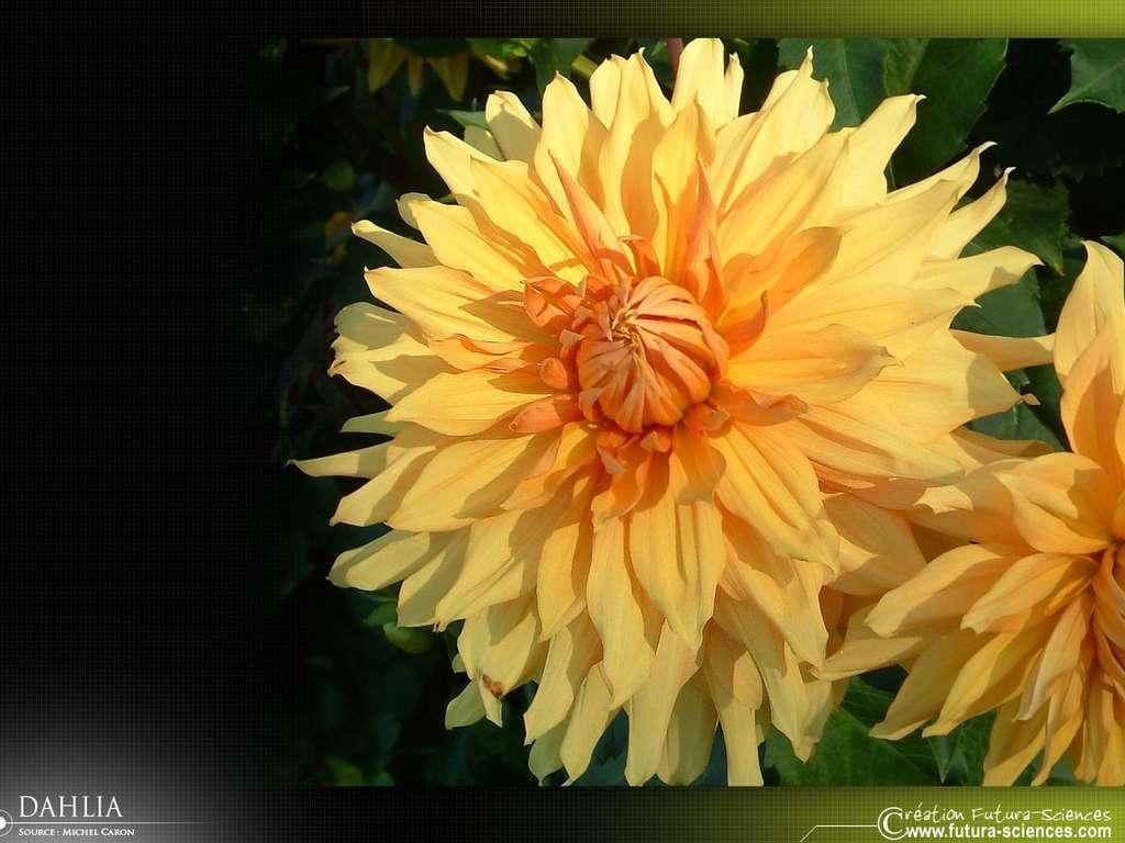 Dahlia jaune