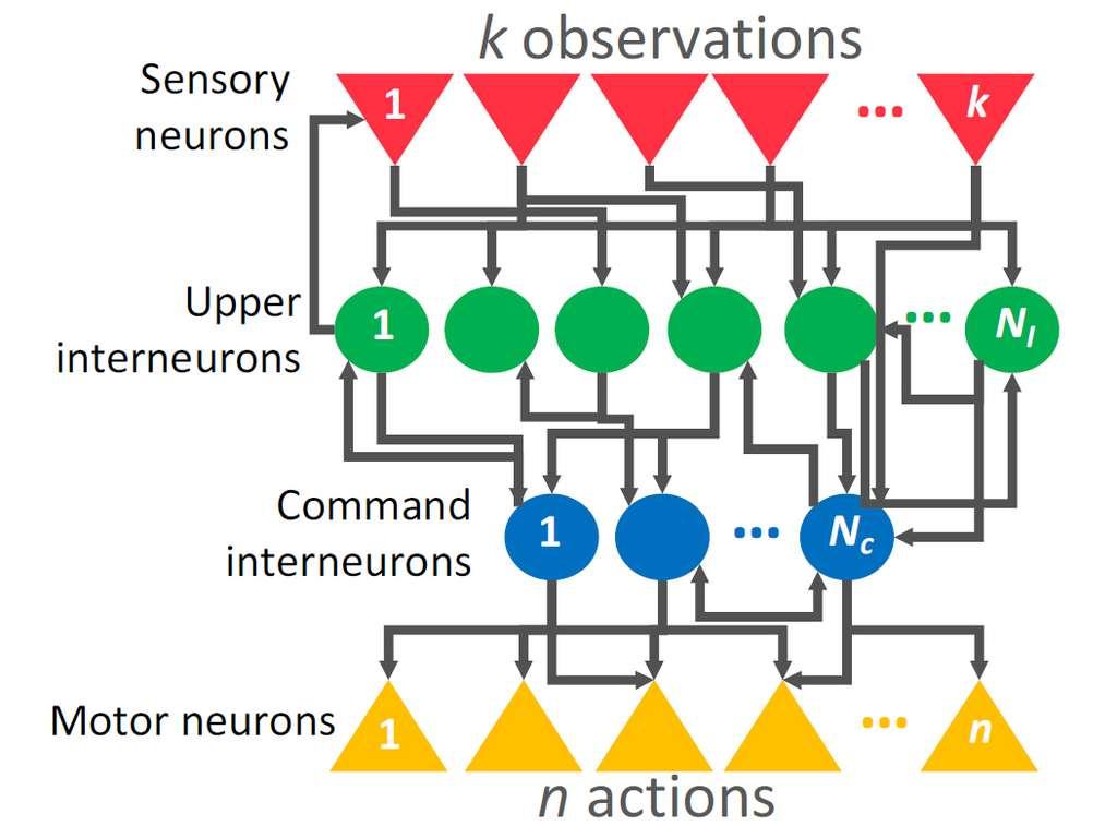 Les chercheurs ont constitué un réseau de 12 neurones constitué de 4 couches : des neurones « sensoriels » (en rouge) qui récoltent l'information, des interneurones supérieurs (en vert) qui traitent les données, des interneurones de commande (en bleu) qui donnent les instructions, et les neurones «moteurs» (en jaune) qui déclenchent l'action. © Université de Vienne