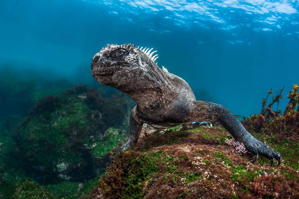 L'iguane marin des Galapagos, le seul lézard de mer au monde