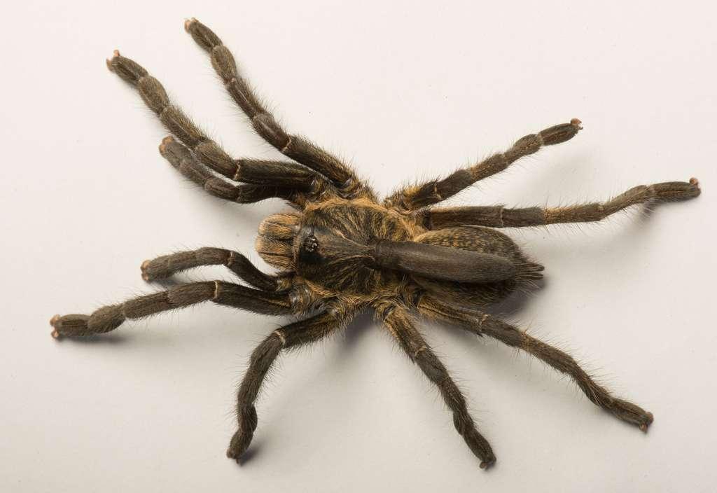 La protubérance sur le dos de Ceratogyrus attonitifer est molle et membraneuse de son vivant. Elle se ratatine lorsque l'araignée meurt. © Ian Enelbrecht, université de Pretoria