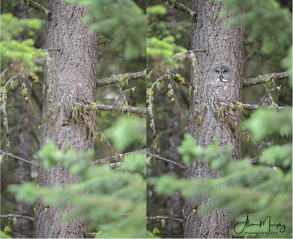 Une chouette lapone se cache dans ces photos. Saurez-vous la trouver ? © Alan Murphy, Facebook