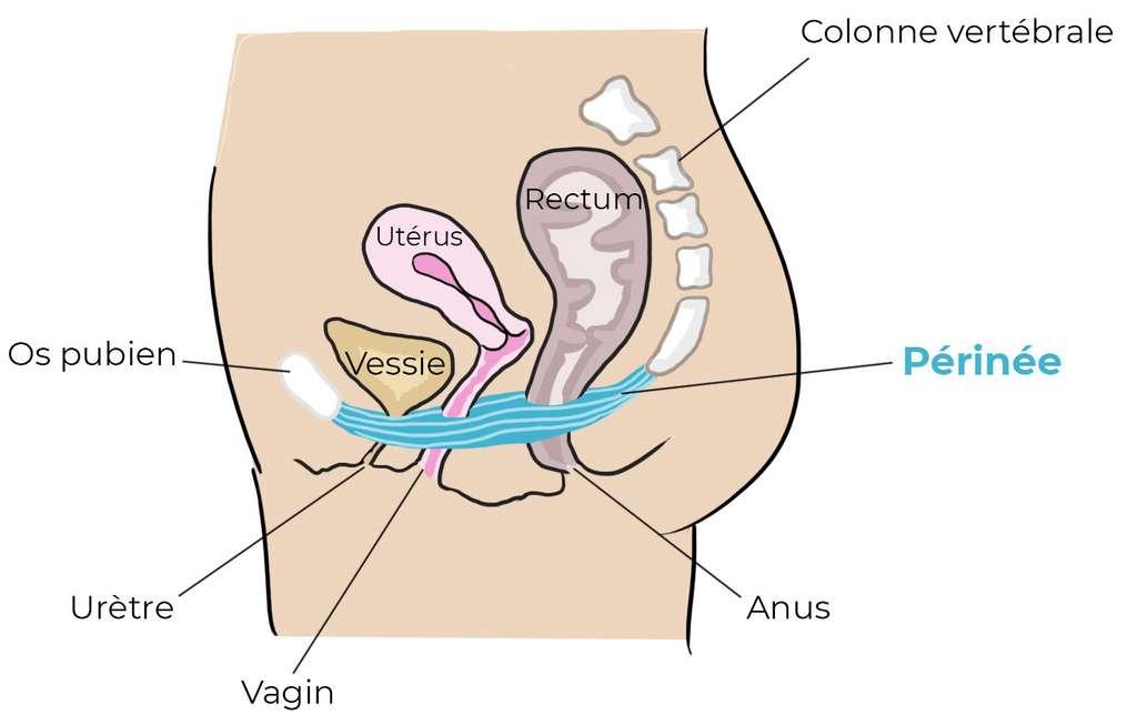 Le périnée est l'ensemble des muscles soutenant les organes du bas-ventre. © www.fizimed.com