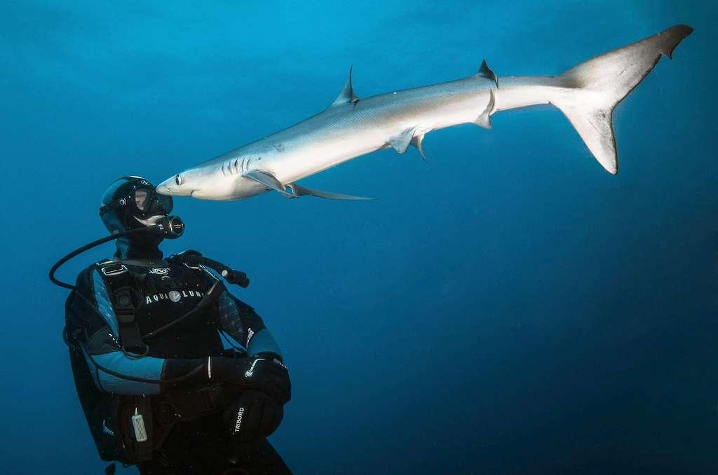 Les requins-bleus (Prionace glauca), aussi connus sous le nom de peau bleu, faisaient partie des espèces de requins les plus communes de la haute-mer dans les années 70. Décimés par la pêche industrielle, très peu d'endroits offrent aujourd'hui la possibilité de les observer comme ici au large du Cap de Bonne Espérance en Afrique du Sud. C'est une espèce curieuse qui n'hésite pas à venir jusqu'au contact. © Greg Lecoeur, Tous droits réservés