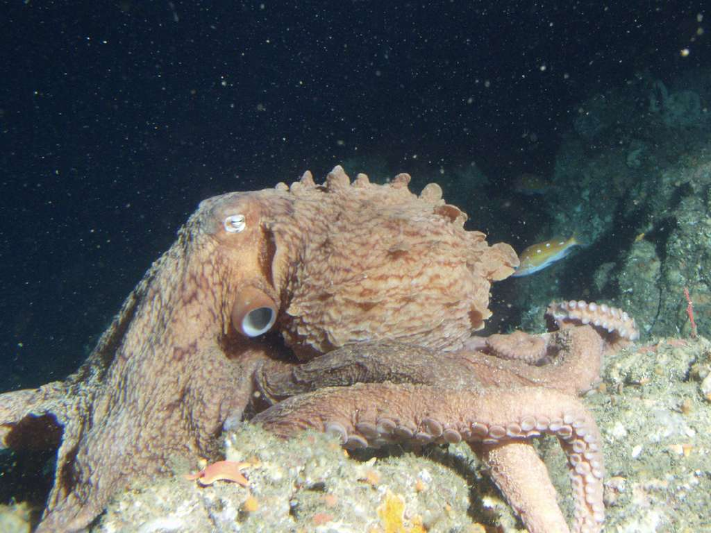 Enteroctopus dofleini. © National Oceanic ans Atmospheric Administration, R.N. Lea, domaine public