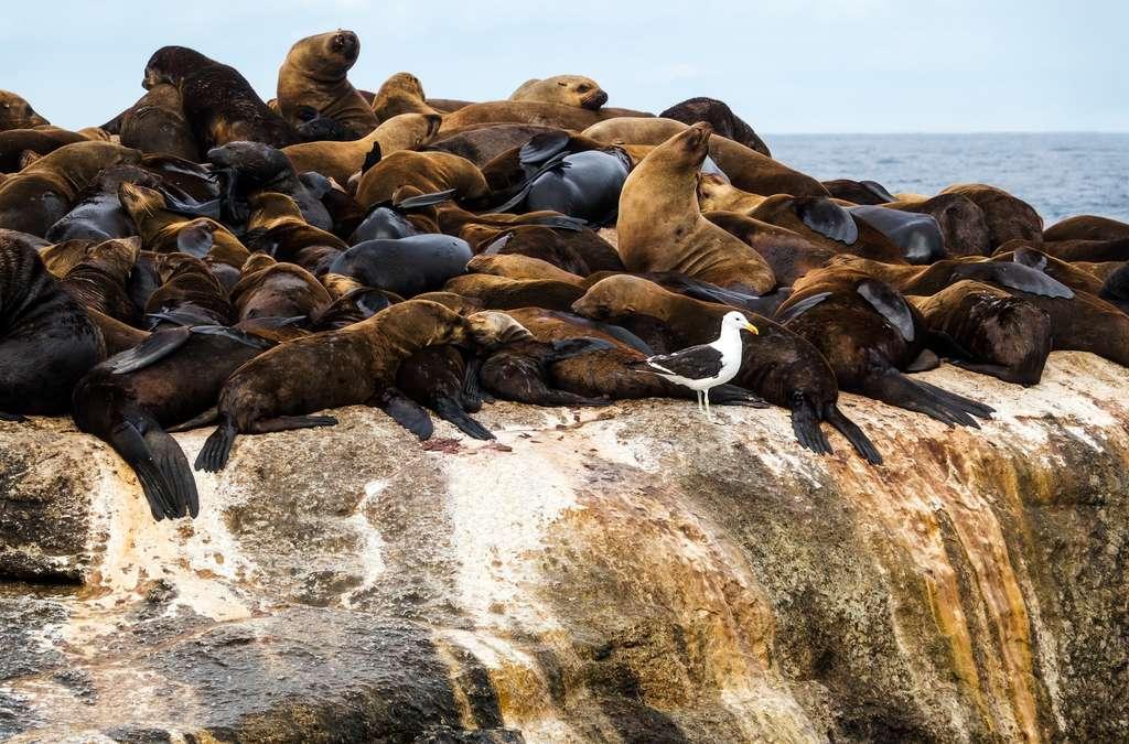 Les otaries se réfugient sur leur île, Seal Island, pour échapper aux requins. © anitasstudio, Fotolia