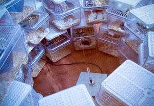 Une antenne émet en permanence des ondes radio à hautes fréquences vers les cages où vivent les souris. © Gary Arendash/Anne DeLotto Baier/Journal of Alzheimer's Disease