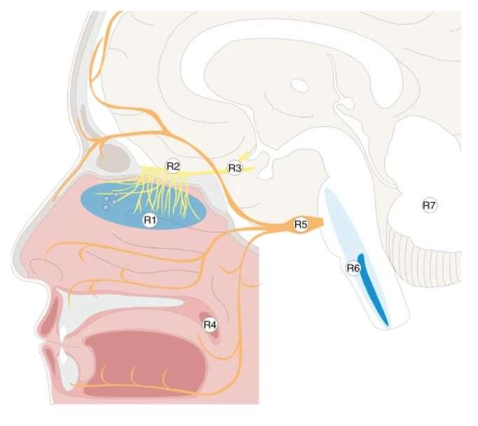 R1 : muqueuse olfactive, R2 : bulbe olfactif, R3 : tubercule olfactif, R4 : luette, R5 : ganglion trigéminal, R6 : medulla oblongata, R7 : cervelet. © Jenny Meinhardt et al. Nature Neuroscience