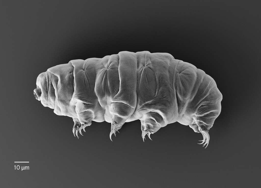 Parfois nommés « oursons d'eau », les tardigrades sont extrêmophiles. Ils survivent aux environnements extrêmes, ainsi qu'à la privation d'eau et de nourriture. © rukanoga, Adobe Stock
