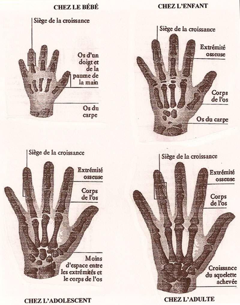 Les étapes de croissance des os de la main, du bébé à l'âge adulte, fournissent de précieux indices pour déterminer l'âge d'une personne. © Dorling Kindersley Encyclopedia, 1995