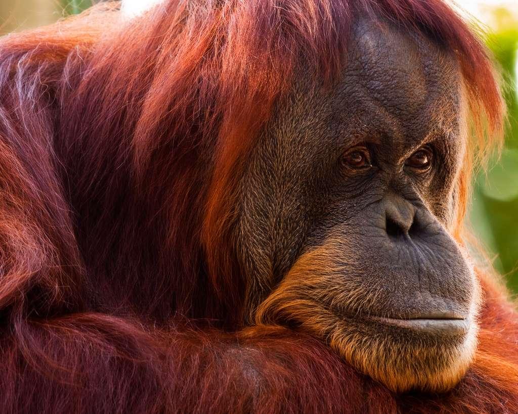 Les orangs-outans appartiennent à la famille des hominidés, comme l'Homme. Ils mesurent entre 1,1 m et 1,4 m de haut, pèsent 40 à 80 kg et peuvent vivre 30 à 40 ans. © davidandbecky, Flickr, CC by-nc-nd 2.0