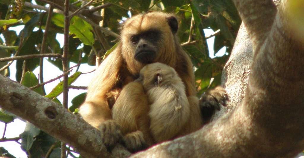 Chez le singe hurleur noir (Alouatta caraya), le mâle est noir alors que la femelle est couleur paille. © BluesyPete, Wikipedia, CC by-sa 3.0