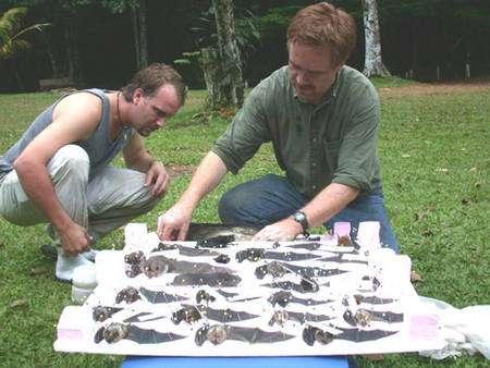 Brownsberg, Suriname : Mark Engstrom et ses collaborateurs du Royal Ontario Museum (Canada) préparent des specimens scientifiques des diverses espèces de chauves-souris capturées dans ce parc naturel. C'est à la demande des autorités du Suriname que nous avons échantillonné les mammifères de ce parc national, afin de faire connaître la biodiversité qui caractérise ces forêts protégées. © François Catzeflis - Tous droits réservés