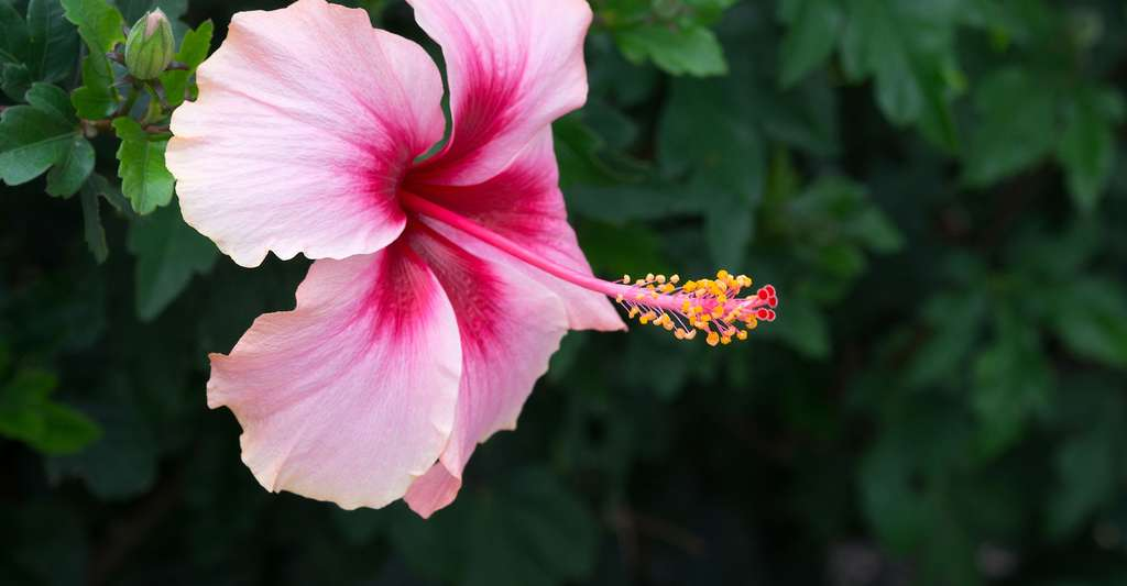 Qu'est-ce que la pollinisation ? Ici, Hibiscus rosa-sinensis. © Nofilm2011, Shutterstock