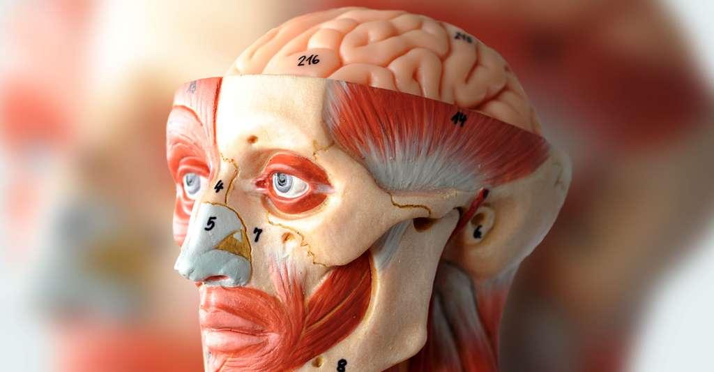 Anatomie faciale. © Tinydevil, Shutterstock