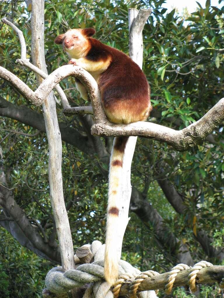 Dendrolague ou kangourou arboricole. © Andyroo1964, Flickr, cc by nc sa 2.0