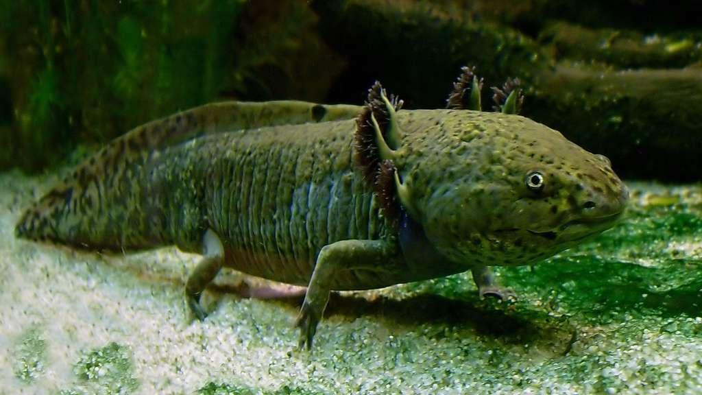 L'axolotl, un monstre d'eau