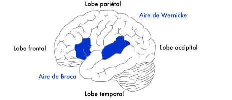 Le cortex visuel est situé dans le lobe occipital, dans l'arrière de la tête. © Fédération pour la recherche sur le cerveau