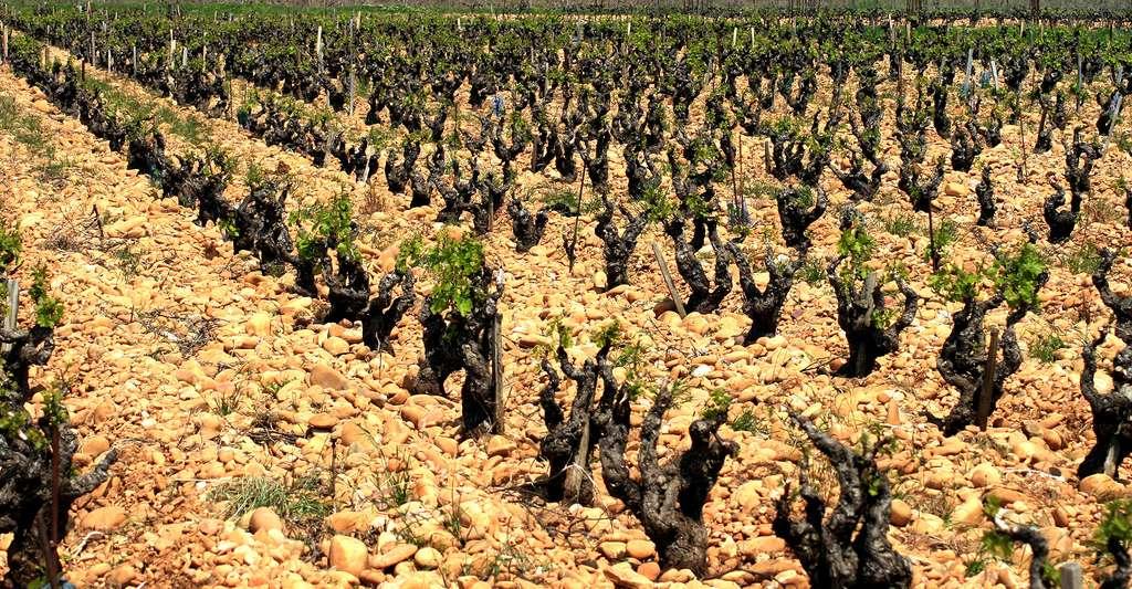 Les vignes de Châteauneuf-du-Pape. © Jean-Louis Zimmermann, CC BY 2.0