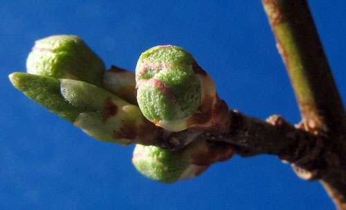 Bourgeons de prunier : les ronds sont des bourgeons à fleurs, le pointu est un bourgeon à feuilles. © Emmanuel Boutet, licence Creative Commons Paternité – Partage des conditions initiales à l'identique 3.0 Unported