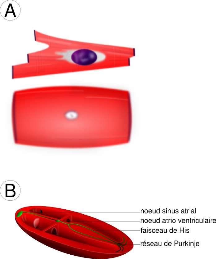 Figure 6. Le tissu cardiaque. A : les cardiomyocytes. En haut, les cellules musculaires cardiaques contractiles qui ne se contractent pas spontanément ; en bas, les cellules cardiaques automatiques. B : système de conduction électrique du cœur (en vert). Il existe encore dans le cœur des cellules sécrétrices d'hormones participant à la régulation du flux sanguin. Nous n'en parlons pas ici. © Hugues Jacobs