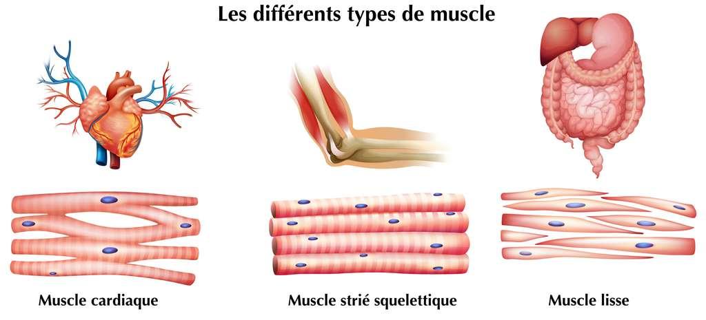 Les différents types de muscle : muscle cardiaque, muscle strié, muscle lisse. © blueringmedia, Adobe Stock, adaptation C.D pour Futura