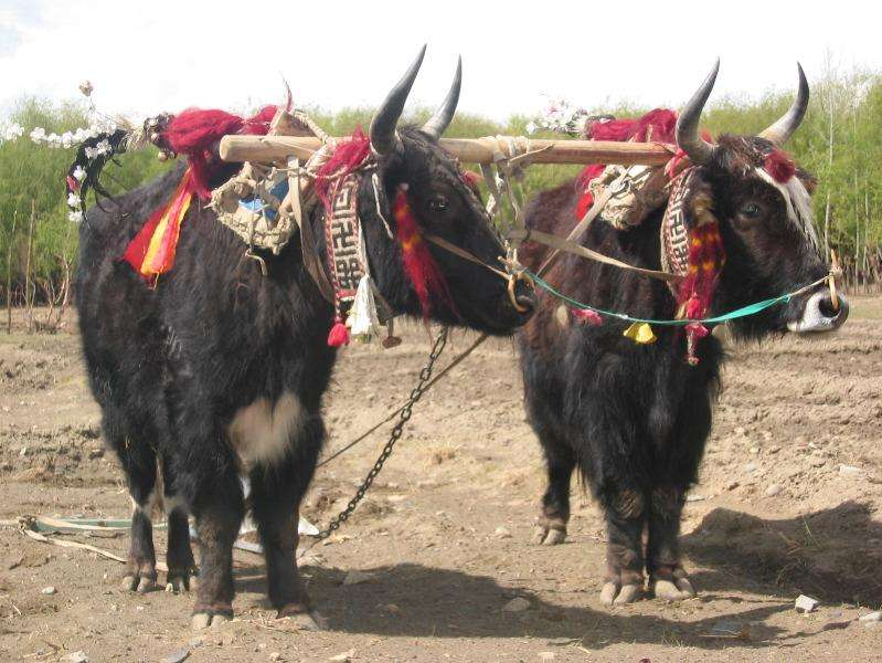 Yaks domestiques. © Nathan Freitas, Creative Commons Attribution-Share Alike 2.0 Generic