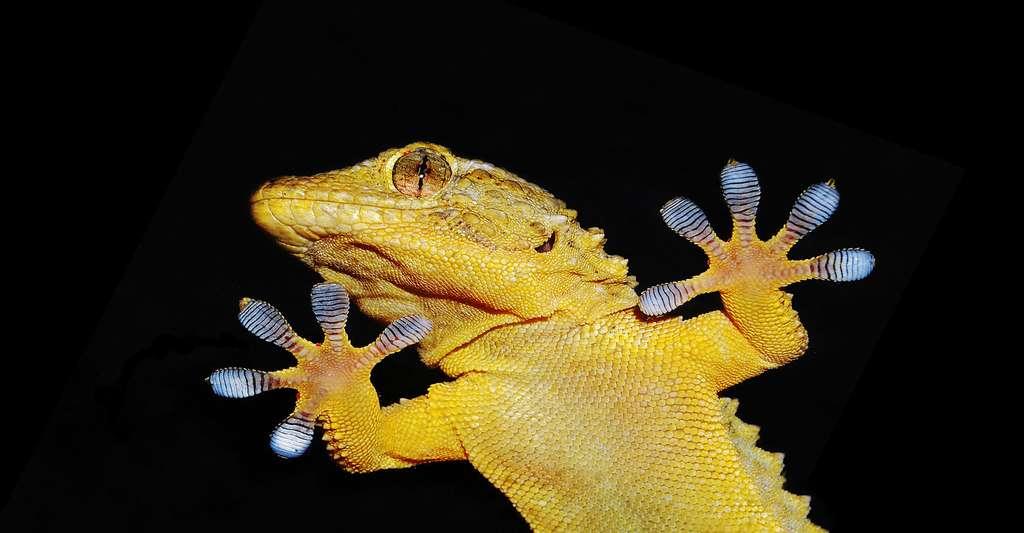 Gros plan sur les pattes d'un gecko. © Nico99 - Fotolia