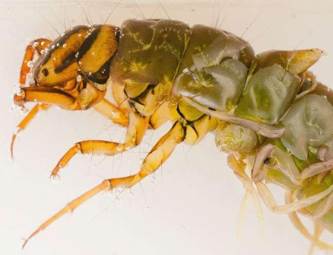 Zoom sur une larve de phrygane découverte en Finlande. © Pentti Ketola, diptera.info