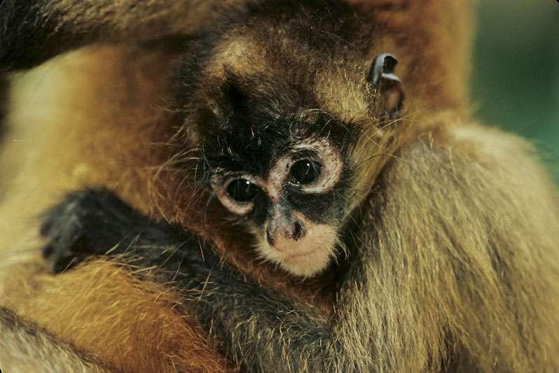 Le singe-araignée, ou atèle de Geoffroy (Ateles geoffroyi). © Sylvain Lefebvre et Marie-Anne Bertin, DR