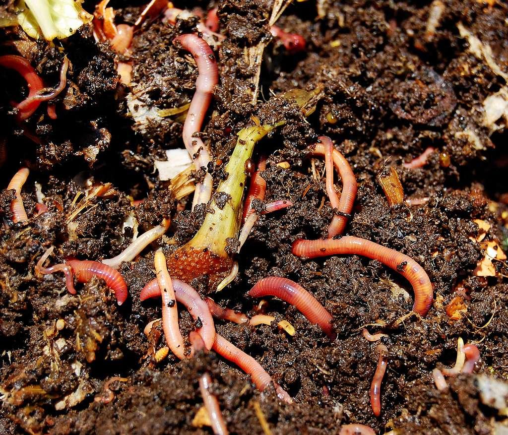 Compost avec vers de terre. Il est important de ne pas y ajouter de feuillages issus de plantes malades. © Loosends, Flickr, CC by-sa 2.0