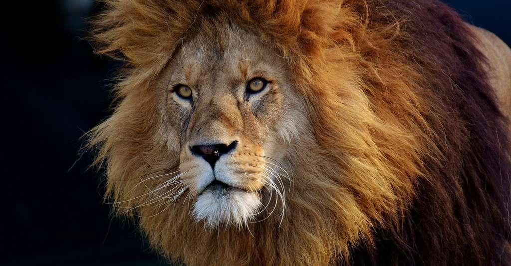 Quel format et quelle reliure choisir pour son livre photo ? Ici, belle photo d'un lion. © Alexas_Fotos, Pixabay, DP