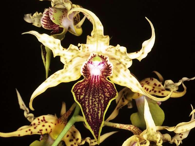 Orchidée Dendrobium Alexanderae