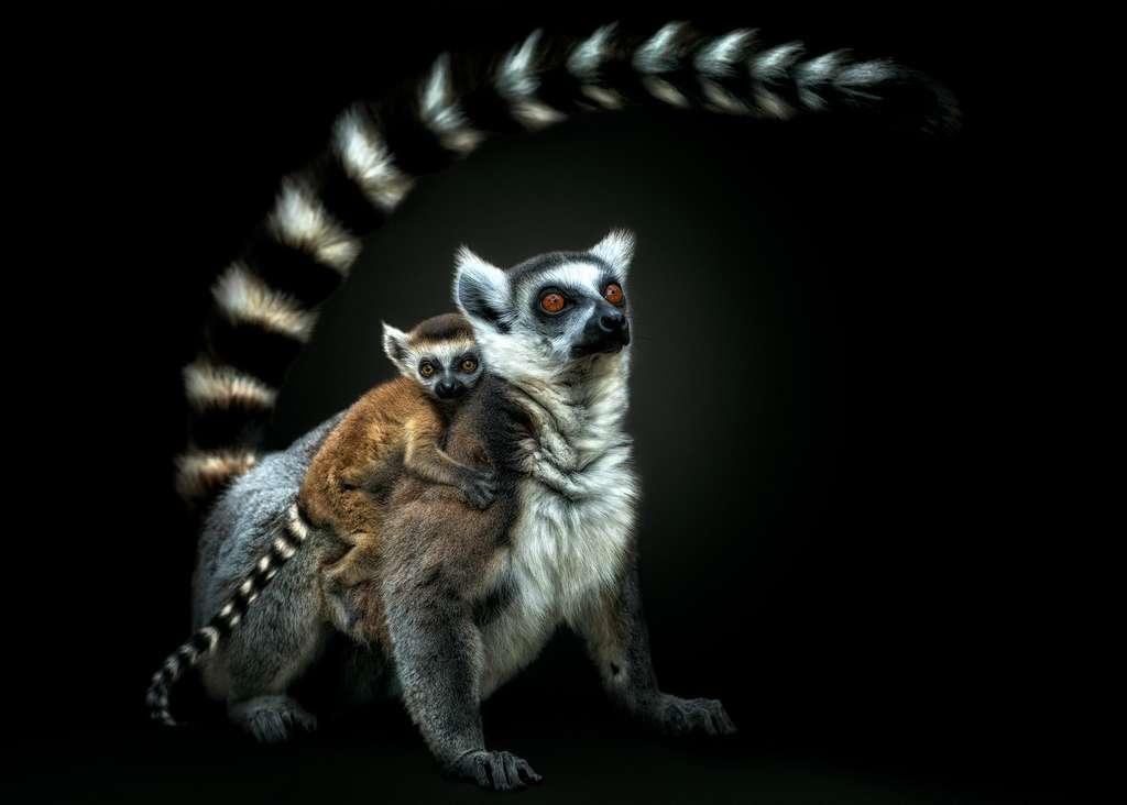 Le lémurien, le primate le plus menacé sur Terre