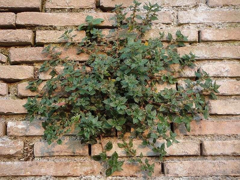 La pariétaire de Judée (Parietaria judaica) est une espèce française dite invasive dans le sens où elle s'adapte très bien aux stress de la ville. Très répandue, elle participe à assainir l'air et le sol, ce qui profite ensuite à d'autres espèces. Introduite en ville pour ses propriétés lavantes, elle serait également reconnue allergisante. © G. Hagedorn, Wikipédia, cc by sa 3.0
