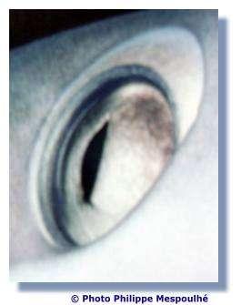 Certains requins possèdent une membrane de protection de l'œil. © P. Mespoulhé