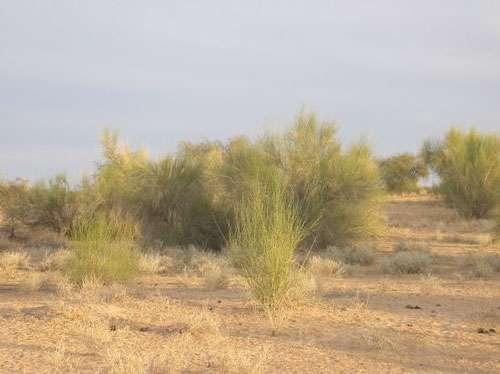Le Leptadenia pyrotechnica une plante adaptée ou invasive des zones sahéliennes ? (Tombouctou, Mali - 2003) © Photo Philippe Birnbaum - Tous droits de reproduction réservés