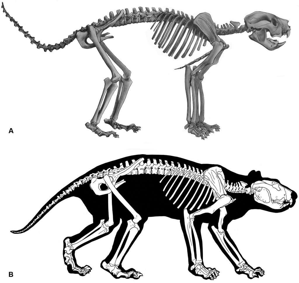 Une reconstruction du squelette et de la musculature de Thylacoleo carnifex. © Roderick T. Wells et Aaron B. Camens, PlosOne, 2018