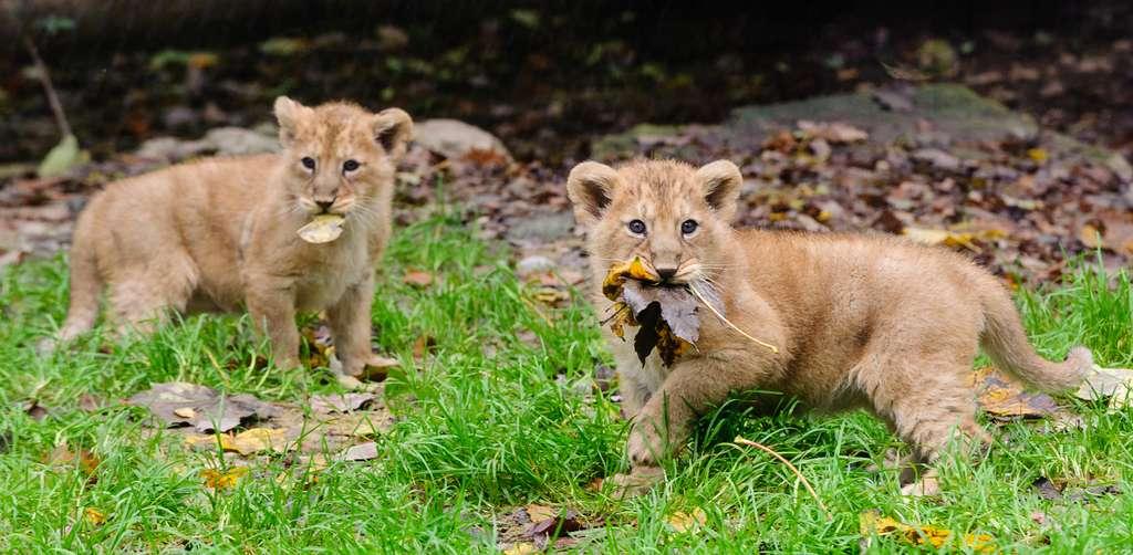 Les lionceaux n'ont pas encore de noms mais cela ne va pas tarder, grâce à un vote en ligne. © Guilhem de Lepinay/Parc zoologique et botanique de Mulhouse