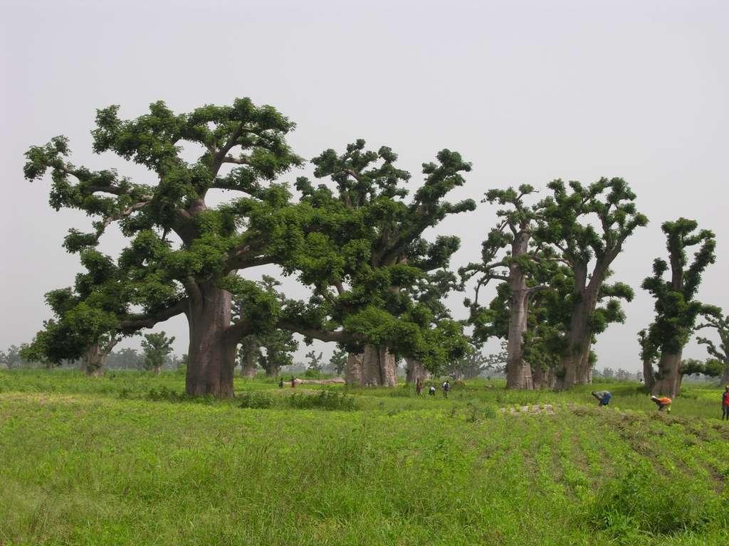Forêt de baobab pendant la saison des pluies