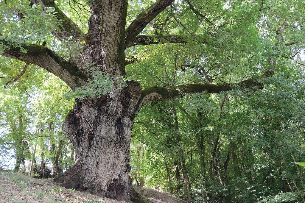 Le chêne d'Henri IV dans le Tar-et-Garonne