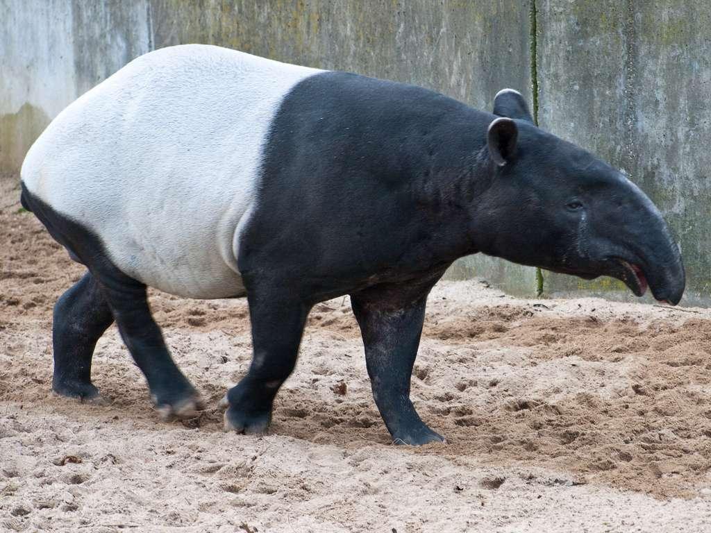 Tapir de Malaisie. © Flickr, Matthias Wicke, cc by nc sa 2.0