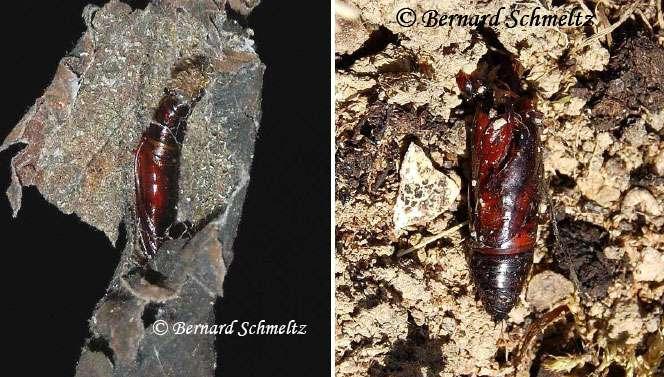 À gauche : chrysalide de la Pyrale du Houblon (dans une feuille d'ortie). À droite : chrysalide de la Fiancée (dans le sol). © Bernard Schmeltz